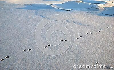 Rabbit foot-prints in snow