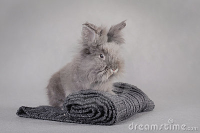Rabbit at grey background