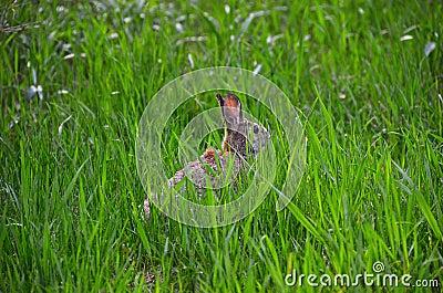 Rabbit hiding in grassland