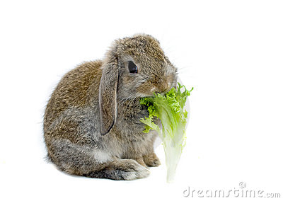 Rabbit and lettuce