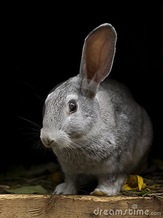 Rabbit with one ear up