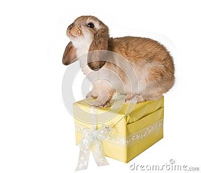 Rabbit on present