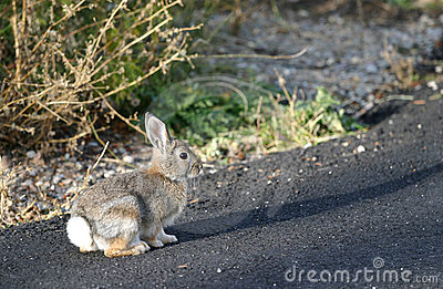 Rabbit on Road