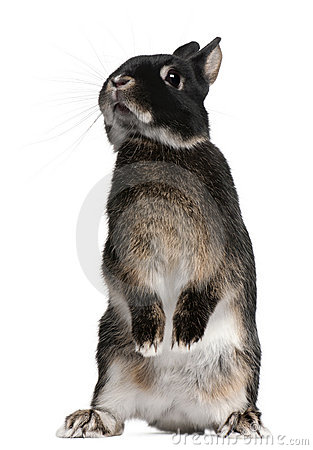 Rabbit Standing On Hind Legs Royalty Free Stock Image