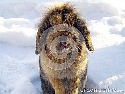 Rabbit in the winter