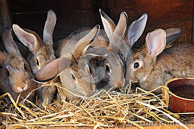 rabbits in rabbit-hutch