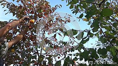 Raccolta di frutti di Persimmon video d archivio