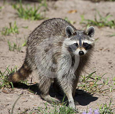 Free Raccoon Stock Photography - 56578972