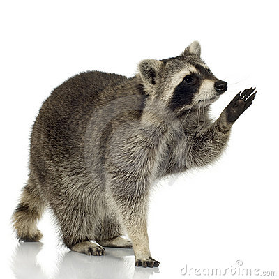 Free Raccoon (9 Months) - Procyon Lotor Stock Images - 4609774