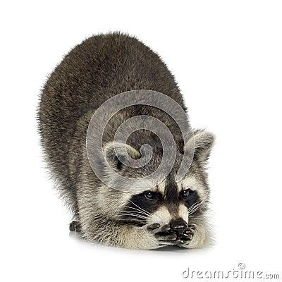 Free Raccoon (9 Months) - Procyon Lotor Royalty Free Stock Image - 4609866