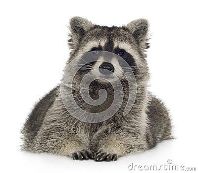 Raccoon (9 months) -  Procyon lotor
