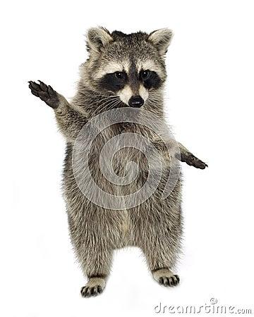 Free Raccoon (9 Months) - Procyon Lotor Royalty Free Stock Image - 4610296
