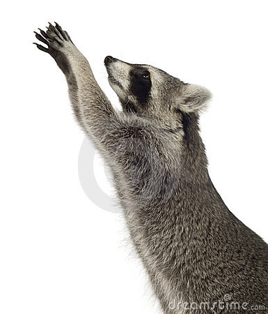 Free Raccoon (9 Months) - Procyon Lotor Stock Photography - 4610672