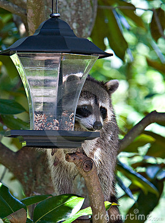 Raccoon In The Bird Feeder