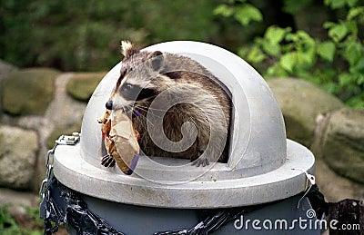 Raccoon che attacca pattumiera.