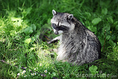 Raccoon in grass