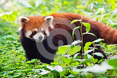 Raccoon in grass