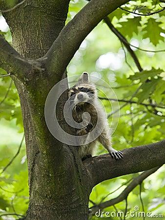 Free Raccoon In A Tree Stock Photo - 18668680