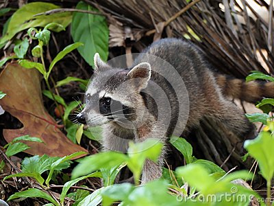 Raccoon in the jungle of Costa Rica