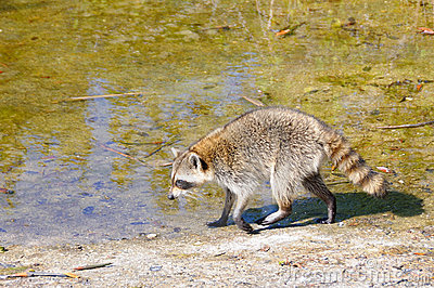 Raccoon near Pond in Everglades
