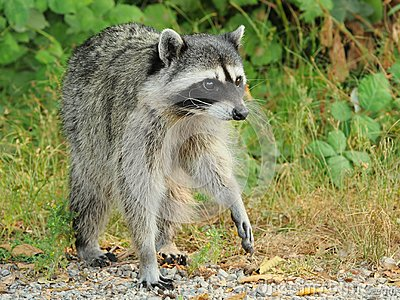 Raccoon no prowl