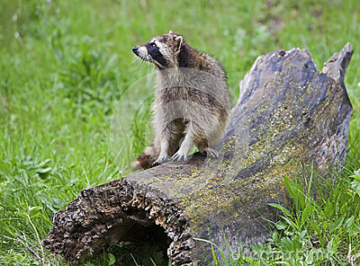Raccoon Procyon lotor on log
