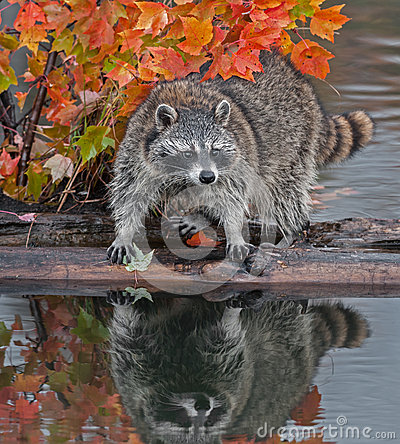 Raccoon (Procyon lotor) Stands Spread Legged on Log in Water