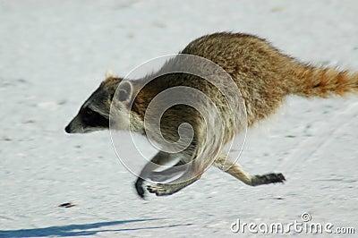 Raccoon running on Beach