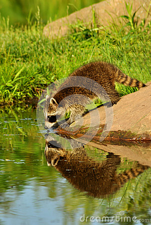 Free Raccoon Seeing His Water Reflection. Stock Image - 44895791