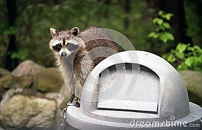 Raccoon su Trashcan