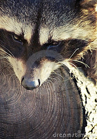 Raccoon together with his  tree