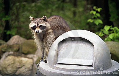 Raccoon on Trashcan