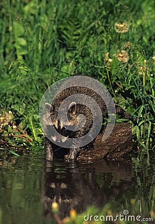 Raccoon Washing