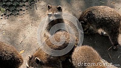 Raccoons andando no zoológico aberto video estoque