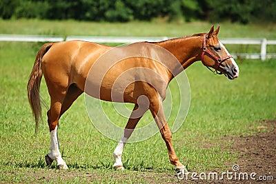 Racehorse chestnut