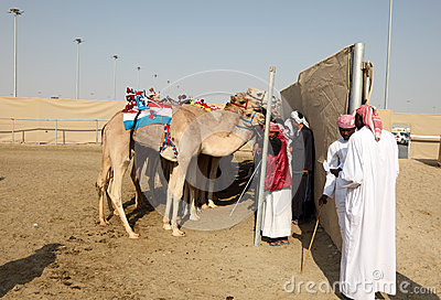 Racing camels at the race track Editorial Photography
