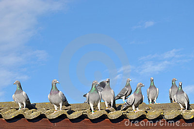 Racing pigeons on the roof