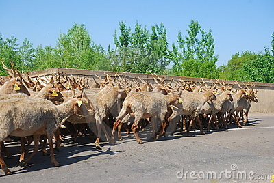 Racka sheep herd, Hortobagy National Park, Hungary