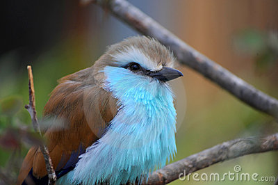 Rackety-Tailed Roller in Tree