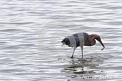 Raddish heron