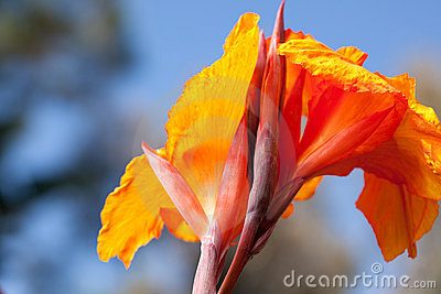 Radiant Canna Lily