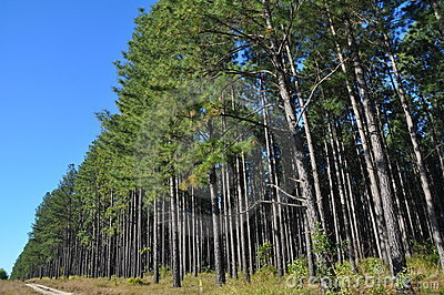 A radiata pine plantation area with access track