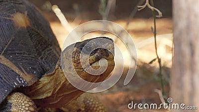 Radiated tortoise -  Astrochelys radiata - critically endangered turtle species, endemic to Madagascar, walking on ground near stock footage