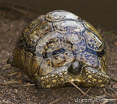 Radiated Tortoise Hiding