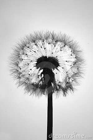 Radiography of a dandelion