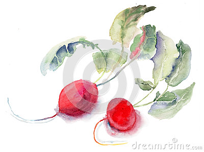 Radis de jardin, illustration d aquarelle