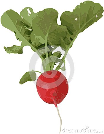 Radish with leaf and root -  image