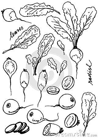 Radish root and leaves