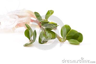 Radish sprout