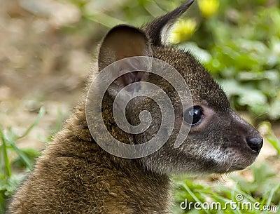Rafferty the Rufus Wallaby